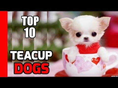 Top 10 Teacup Dogs(Cute Dogs) - Best Small Dogs