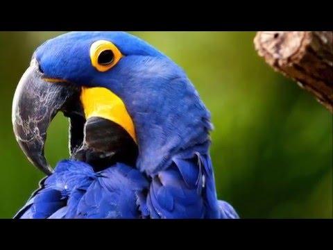 beautiful photo of parrots Cyanopsitta spixii