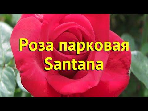 Роза парковая Сантана. Краткий обзор, описание характеристик, где купить саженцы Santana