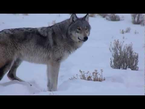 Wolf in Yellowstone  イエローストーンのオオカミ