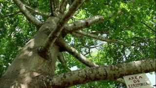 La ceiba, árbol sagrado de los Mayas / 2012