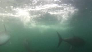 Feeding Giant Blue Fin Tuna