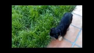 Lovey-adoptable-yorkshire-terrier-kenmarrescue-3-18-12