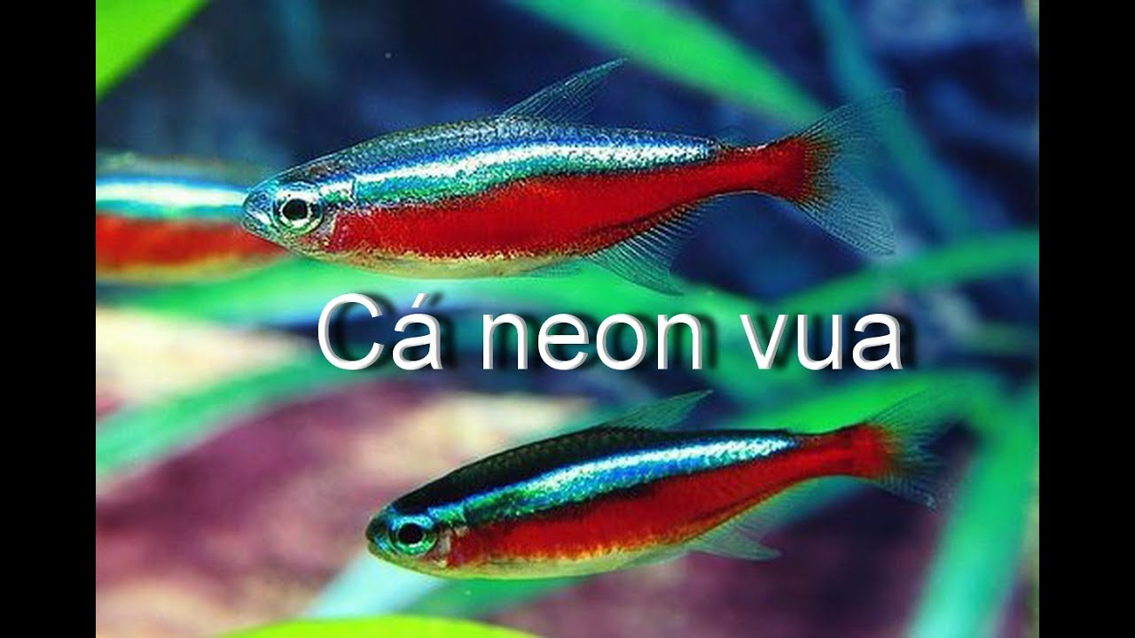 Cá neon vua bơi theo đàn (VietSub)