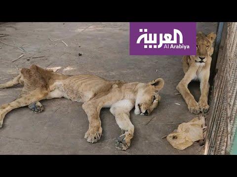 مشهد مؤلم لملك الغابة يترنح من الجوع بحديقة حيوان الخرطوم  - نشر قبل 1 ساعة