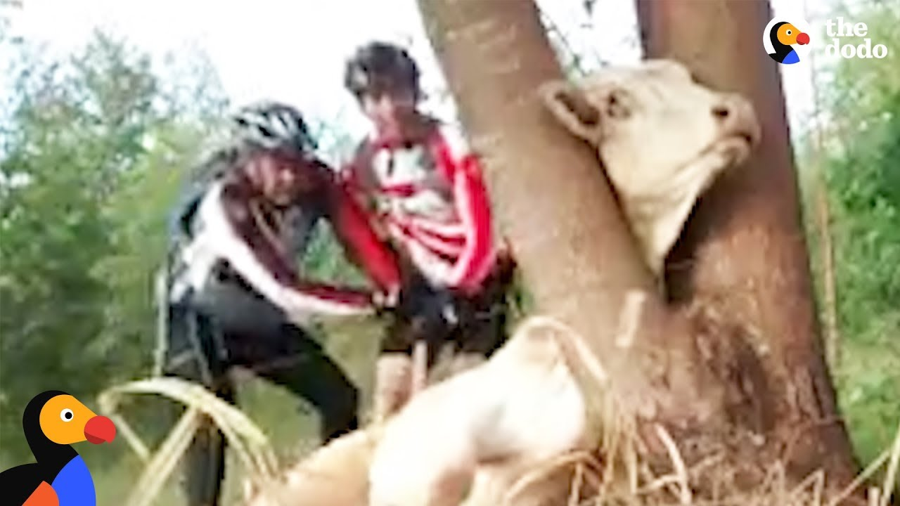 Cow Stuck in Tree Rescued by Bikers Who Won't Give Up On Saving Her | The Dodo