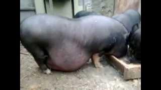 Беременная свинка кушает
