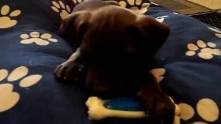 Junior @ 7 Weeks Old! Chocolate Rednose Pitbull Puppy