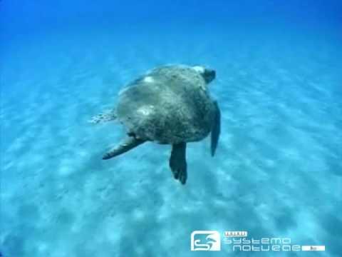 Tartaruga comune (Caretta caretta) - Caretta caretta turtle