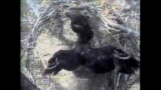 8-Week-Old Eaglets Exercising Their Wings on 2014 Blackwater Eagle Cam