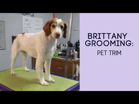 Brittany Grooming: Pet Clip