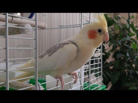 Nymphicus hollandicus Попугай Корелла