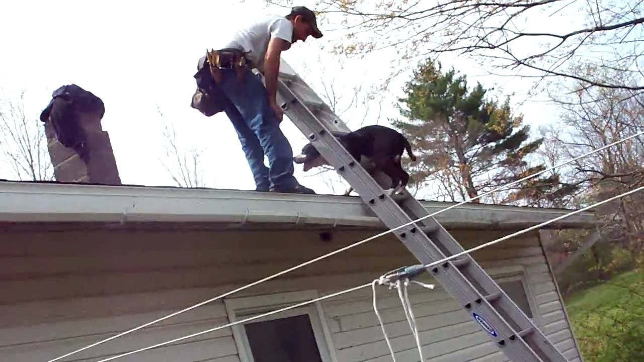 Dog Climbing Ladder To Roof For His Dad Youtube