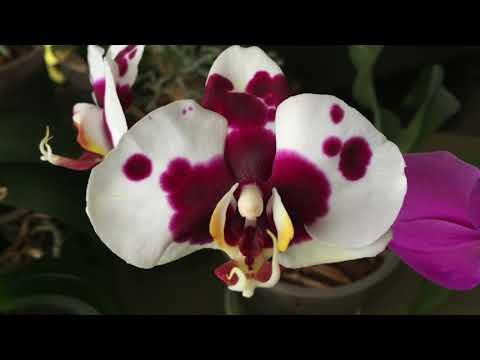 КОГДА ПЕРЕСАЖИВАТЬ ОРХИДЕЮ – одна из причин на примере орхидеи ПАНДА