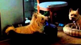 Cairn Terrier Summmer Haircuts  5/17/11