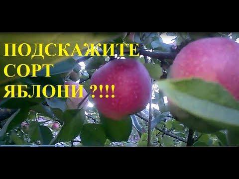 Подскажите сорт яблони!