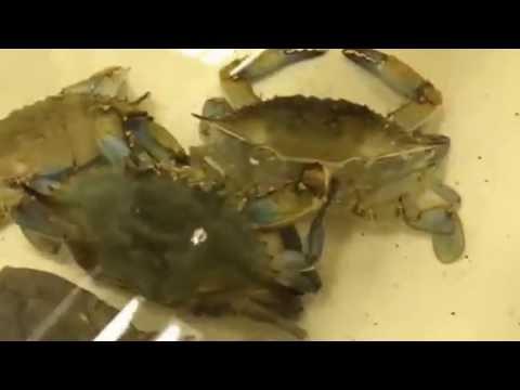Blue Crab Shedding