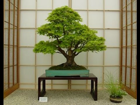 Recommended Indoor Bonsai Trees April 2017 - YouTube