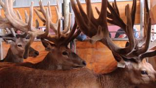 Our 2017 Sire Stag Sales Slideshow
