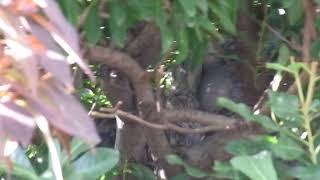 我が家の庭で生まれた鳩のチビぽっぽ。 一人っ子かと思っていたら二人っ...