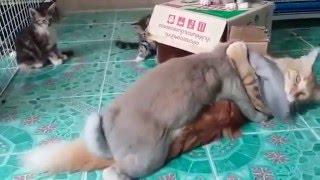 Кролик насилует кота (Понарошку. На самом деле он даже не достаёт) . Котик думает, что с ним играет)