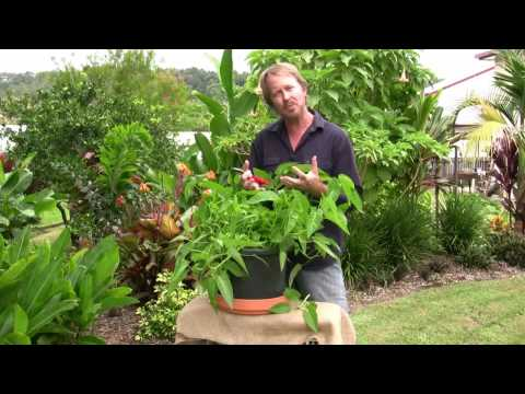 Vegetable Gardening: Growing kang kong - easy leafy greens