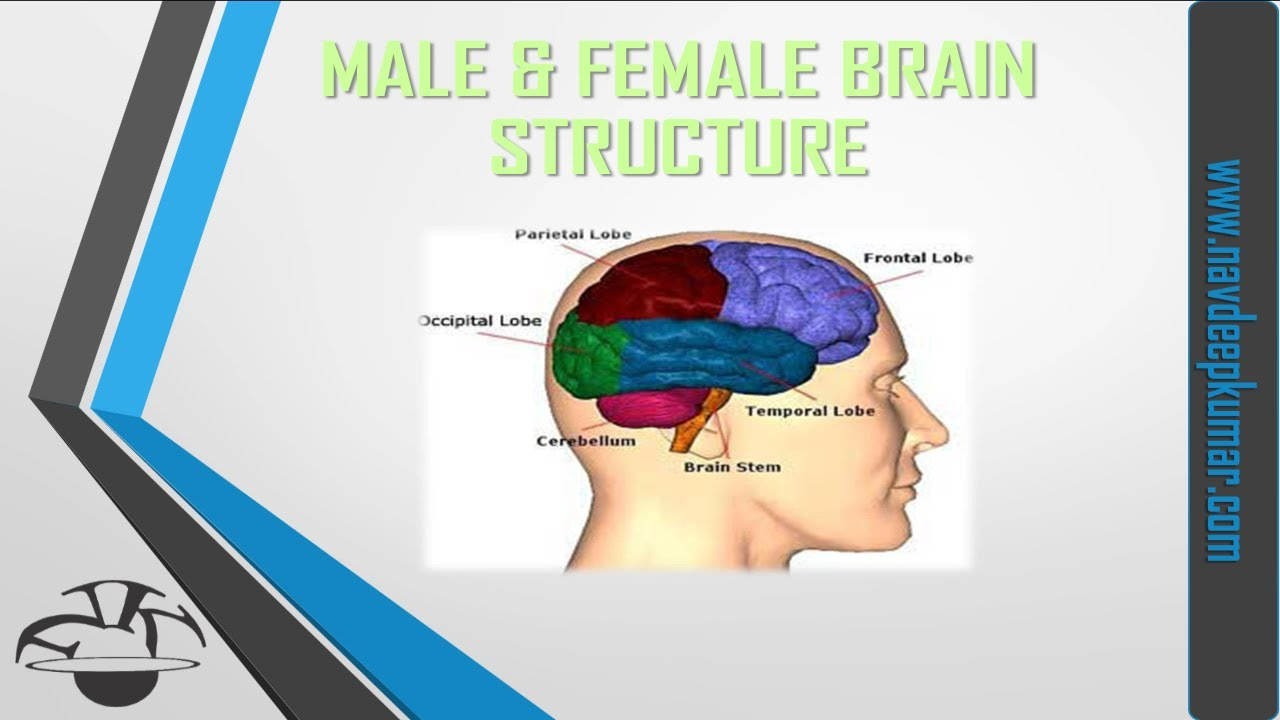 differences between male and female minds and physical brains Differences between physical bodies and brains explained looking at male and female brains if it's not necessarily our physical brain.