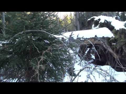 медвежья пробка фото