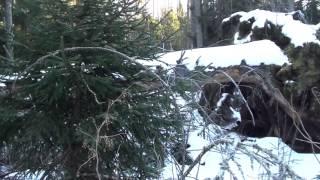 Медведь в берлоге 21 января 2017