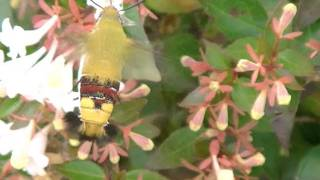 Hummingbird Moth (Clearwing) Up Close!