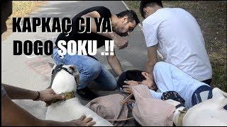 KAPKAÇ'ÇIYA DOGO ARGENTİNO  !!( ŞOKU)!! ANINDA YAKALADI