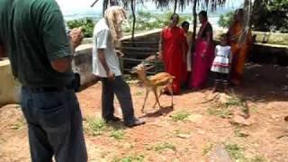 Deer in the temple of Goddess Tara Tarini (near Gopalpur , Orissa)