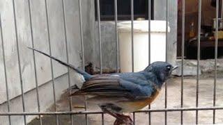 Tledekan Bambu Gacor , Dengarkan Pada Burung Sikatan Bahan Bisu Langsung Nyaut Bunyi