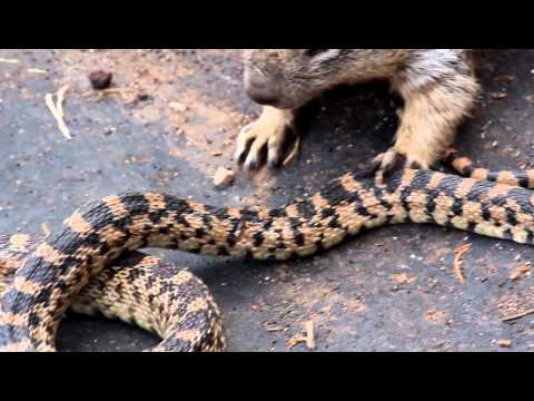 Squirrel vs. Snake (Grand Canyon)
