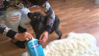 Собаке нравятся подгузники Chiaus