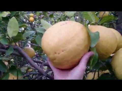 Found Largest Lemon / Citron in the World in Backyard
