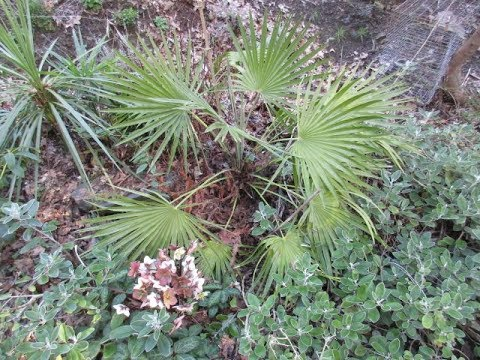 Mediterranean Fan Palm in a Northern Climate