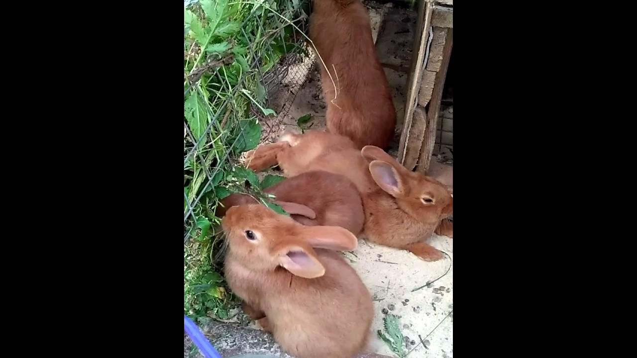 Мясная порода кроликов Калифорнийский кролик - YouTube