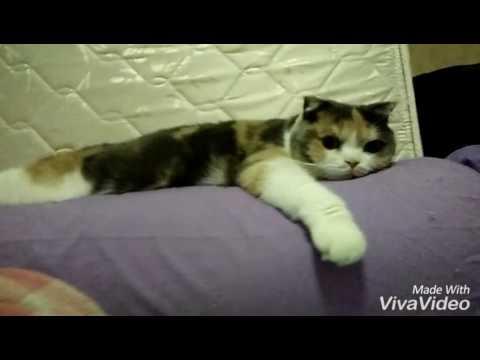 แมวชอบนอนกอดหมอนข้าง#Manekineko Cattery#Scottish fold#Cat#Cute