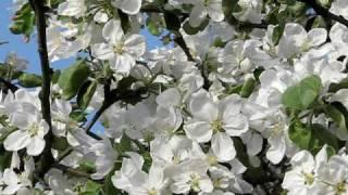 Майский   мёд  .  Цветущие  сады  .(Цветущие сады . Снято 17.05 . Говорят на Северо - Западе России майского мёда не бывает но это не прав..., 2010-05-19T19:57:07.000Z)