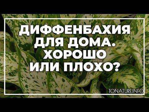 Диффенбахия для дома  хорошо или плохо? | toNature.Info