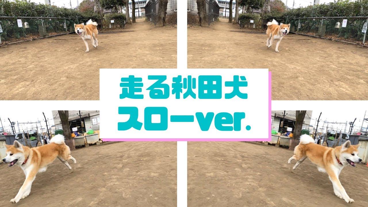 【秋田犬】スローモーションで見てみよう【大型犬】