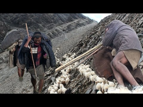 himalayan sheep farm