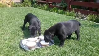 Щенки кане корсо. Вкусный обед. Cane Corso Puppies. Tasty Lunch