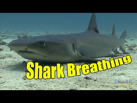 How Do Sharks Breathe? | SHARK ACADEMY