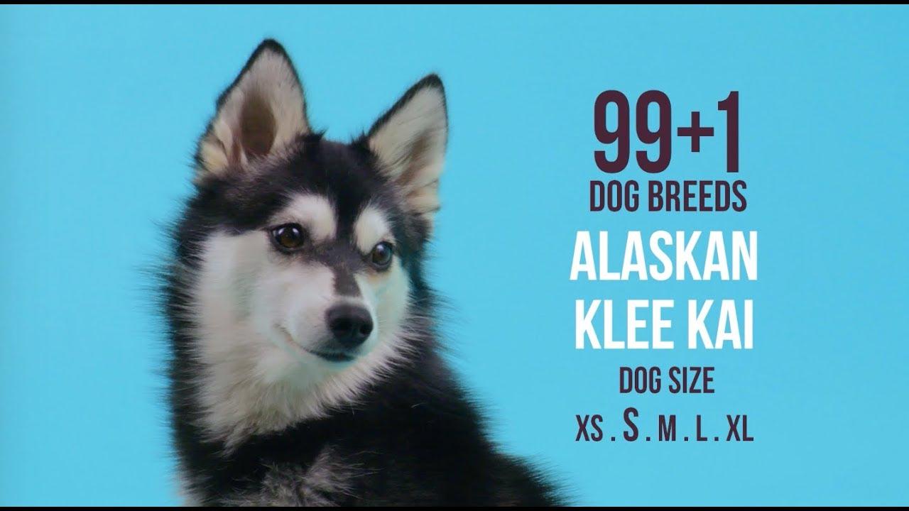 Miniature Siberian Husky (Prices, Breeders & More)