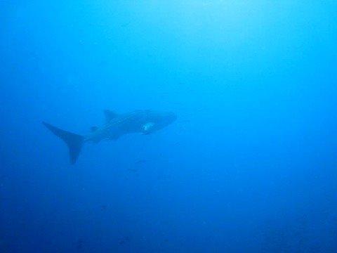 Whale Shark!!!!!!!!!