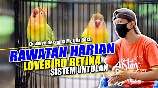Download lagu CARA PERAWATAN HARIAN LOVEBIRD BETINA SISTEM UNTULAN