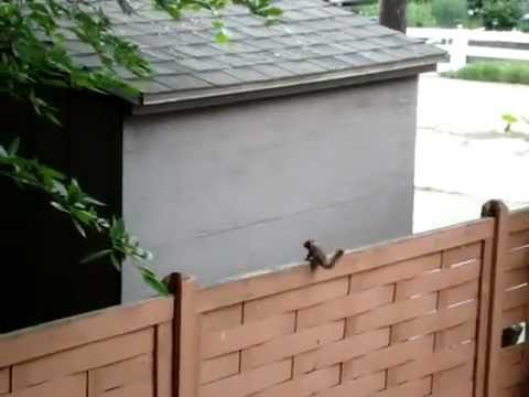 Squirrel Jumps Into Wall