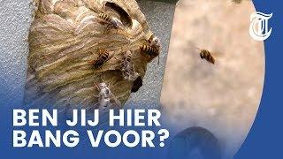 Wespenoverlast: 'Nesten zo groot als een skippybal'